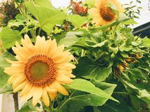 kwitnący słonecznik Fotografia Stock