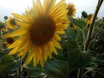 Kwitnący słonecznik w polu Zdjęcia Royalty Free