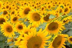 kwitnący słoneczniki Zdjęcia Stock