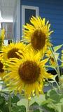 Kwitnący słoneczniki z błękitnym tłem Zdjęcia Stock