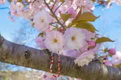 Kwitnący Sakura rozgałęzia się z tradycyjną Bałkańską wiosny bransoletką Obrazy Royalty Free