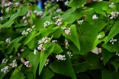 Kwitnący sezon w brzęczeniach Giang, Wietnam (tama giac machu kwiatu sezon) Tama giac machu kwiat jest jeden główny jedzenie dla  Obraz Stock