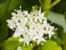 Kwitnący Syberyjski dereń, Cornus albumy, kwiatu grono z bokeh tłem, makro-, selekcyjna ostrość, płytki DOF Zdjęcie Royalty Free