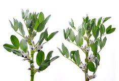 Kwitnący szerokich lub fava fasoli rośliien Vicia Faba Zdjęcia Royalty Free