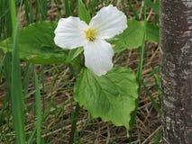 Kwitnący Trillium Grandiflorum kwiat obramiający trawą i drzewem zdjęcia royalty free