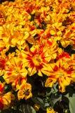 Kwitnący tulipany w wiośnie Zdjęcie Stock