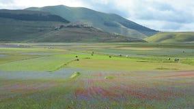 Kwitnący w równinie Castelluccio, Włochy zbiory wideo