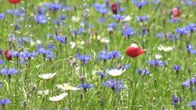 Kwitnący w równinie Castelluccio, Włochy zbiory