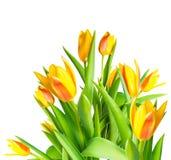 Kwitnący wiązki wiosny żółtych tulipany odizolowywa kwiat kolorowy jest Zdjęcie Stock