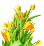 Kwitnący wiązki wiosny żółtych tulipany odizolowywa kwiat kolorowy jest Zdjęcia Royalty Free