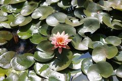 Kwitnący wibrujący różowy lotos obrazy stock