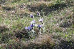 Kwitnący wielcy pasque kwiaty zdjęcie royalty free
