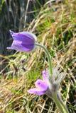 Kwitnący wielcy pasque kwiaty obraz royalty free