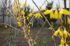Kwitnący wiosna koloru żółtego drzewo W górę światła dziennego chmurzącego w zdjęcie stock