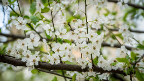 Kwitnący wiosny drzewo z białymi kwiatami Obraz Stock