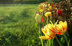 Dwoiści tulipany Obraz Stock