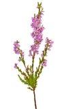 Kwitnący wrzos gałąź odizolowywającą na bielu Zdjęcie Stock
