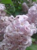 Kwitnący z piękno bzami Zdjęcie Royalty Free
