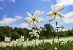 Kwitnąca daffodil para w przodzie Obrazy Royalty Free