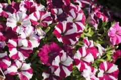 Kwitnąca kwiat wiosna Zdjęcie Royalty Free
