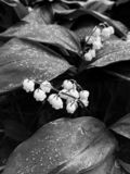 Kwitn?ca leluja doliny Convallaria majalis kwiaty na zieleni opuszcza t?o w lasowej Czarny i bia?y fotografii obrazy royalty free
