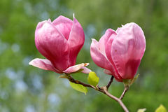 kwitnąca magnolia Obraz Stock