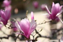 kwitnąca magnolia fotografia stock