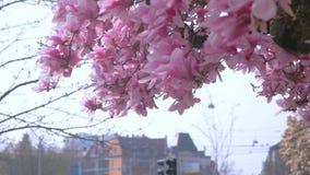 Kwitn?ca magnolia na niebieskim niebie wiosna kwiat T?o zbiory
