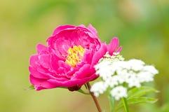 kwitnąca ogrodowa wiosna Obrazy Royalty Free