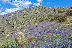 kwitnąca pustynia Zdjęcia Stock