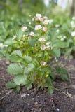 Kwitnąca truskawka zdjęcia stock