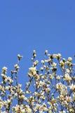 kwitnąca wiosny ogrodowa Fotografia Royalty Free