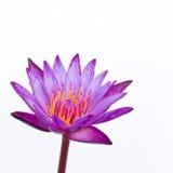 Kwitnąca wodna leluja lub lotosowy kwiat Fotografia Royalty Free