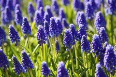 kwitnące gronowego hiacyntu muscari purpury Zdjęcie Royalty Free