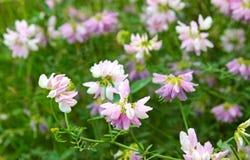 Kwitnące koron wyka, purpurowi wildflowers Zdjęcie Stock