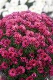 Kwitnące purpurowe chryzantemy Obrazy Royalty Free