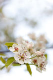 kwitnącej kwiatów wiosna drzewny biel Fotografia Royalty Free