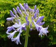 Kwitnący agapant Zdjęcie Stock
