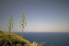 kwitnący agawy niebieskie niebo Zdjęcie Stock