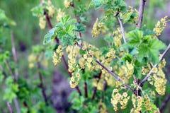 Kwitnący agrest Fotografia Stock