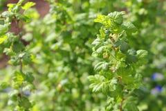 Kwitnący agrestowy krzak Zdjęcie Stock