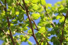 Kwitnący agrestowy krzak Zdjęcie Royalty Free