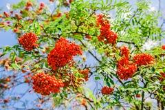Kwitnący ashberry drzewo Obrazy Stock