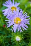 Kwitnący aster, aster, purpura, flory, ogród Obraz Royalty Free