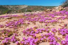 Kwitnący australijscy wildflowers Obrazy Royalty Free