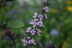 Kwitnący basil zdjęcie stock