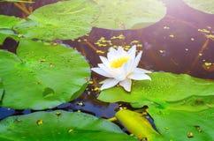 Kwitn?cy bia?y lotos i zieleni li?cie leluja obraz stock