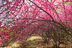 Kwitnący brzoskwinia kwiaty Obrazy Royalty Free