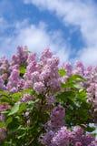 kwitnący bzy Obrazy Stock