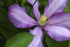 Kwitnący clematis kwiat Zdjęcie Stock